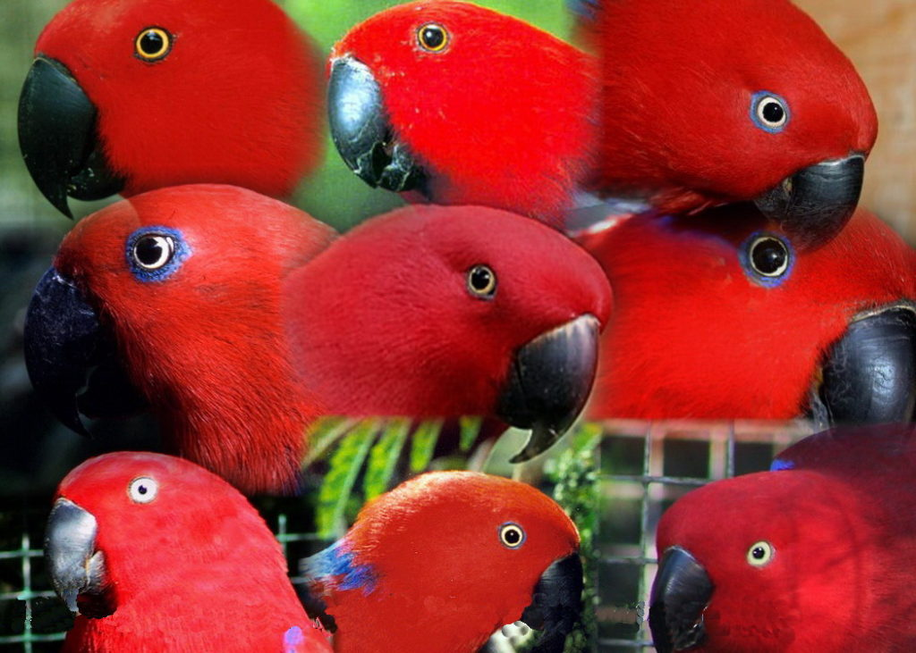Female Eclectus Parrots