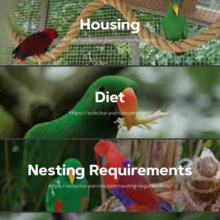 Eclectus Parrots Infographic